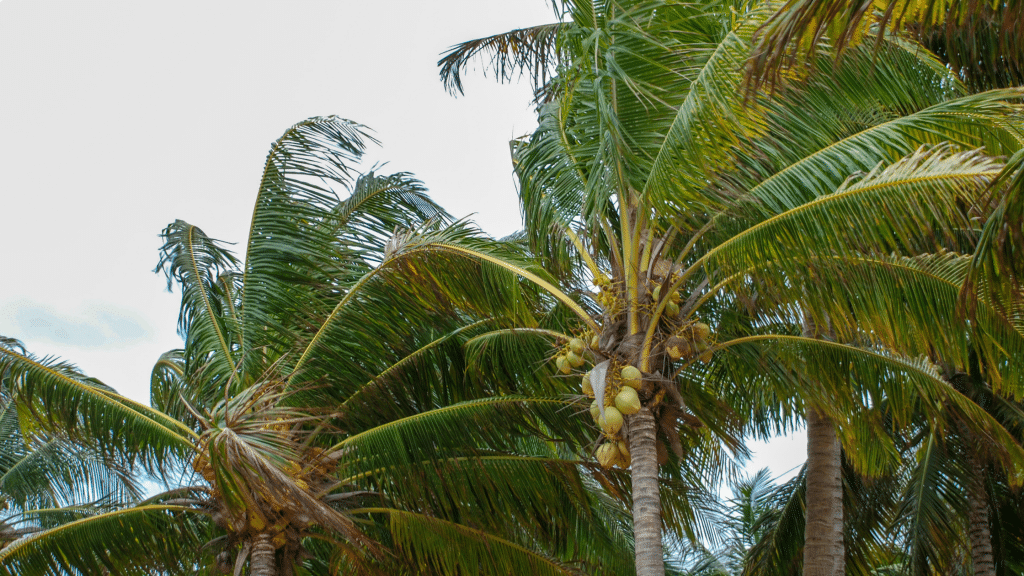 palm trees bending in the wind
