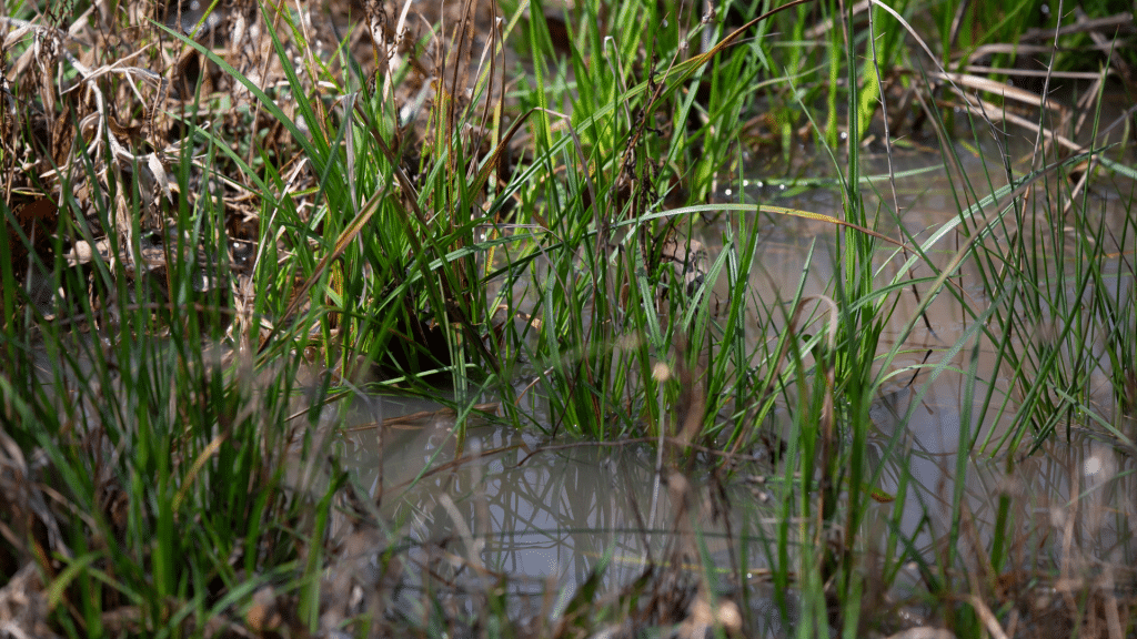 puddle of water with grass